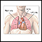 Thoracic organs